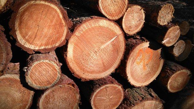 Cele Mai Vechi Copaci De Pe Pământ |